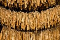 Tobacco Leaves ESG Sin Stocks